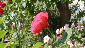 Rose in fustigazione stock footage