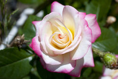 Rose Galaxy Images stock