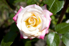 Rose Galaxy Stock Images