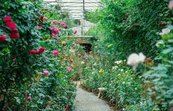 Rose Garden στο θερμοκήπιο και διαβάσεις πεζών για ποικίλη ροή Στοκ Εικόνες