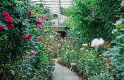 Rose Garden στο θερμοκήπιο και διαβάσεις πεζών για ποικίλη ροή Στοκ εικόνες με δικαίωμα ελεύθερης χρήσης