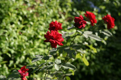 Rose Garden. A row of roses in an English countryside garden stock photos