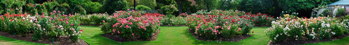 Rose garden. In bloom on a glorious summer day in Christchurch, New Zealand Stock Images
