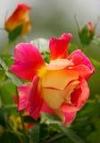 Rose Garden. Pink and yellow rose petals royalty free stock photos