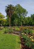 Rose garden. Palm tree in the middle of a rose garden Stock Photography