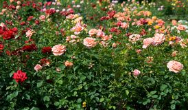 Rose Garden. Colorful roses in a gardgen Royalty Free Stock Photography