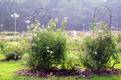 In Rose Garden Royalty-vrije Stock Afbeelding