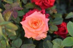 Rose Garden!! Lizenzfreie Stockbilder