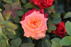 Rose Garden!! Immagini Stock Libere da Diritti