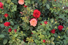 Rose Garden!! Immagine Stock Libera da Diritti