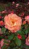 Rose Garden. Amazing rose in full bloom Stock Images