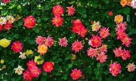 Rose garden at Ashikaga Park in Japan stock image