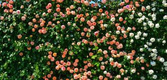 Free Rose Garden At Ashikaga Park In Japan Stock Images - 104935514