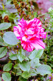 Rose. In the garden so beatutiful Royalty Free Stock Images
