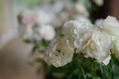 Rose in garden Stock Image