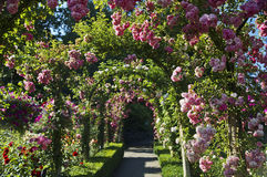 Rose garden. A beautiful blooming rose garden Stock Images