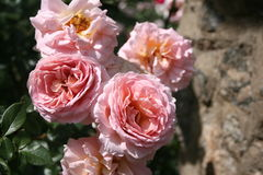 Rose Garden. This is a Rose Garden with beautiful reds, pink, white, and yellow flowers and greenery Stock Photo
