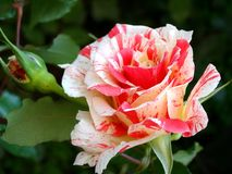 Rose in garden Royalty Free Stock Images