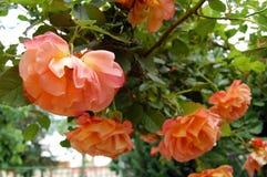 Rose in garden Royalty Free Stock Photos