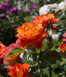 Rose Garden at the Beutig_Baden Baden, Germany Stock Images