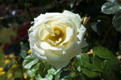 Rose Garden at the Beutig_Baden Baden, Germany Stock Photo