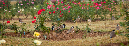 Rose Garden and birds Stock Image