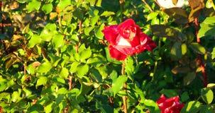 Rose Garden in Bloom. Selective focus Pink Rose Garden in Vintage color. Rose Garden in Bloom. Selective focus Red Rose Garden in Vintage color stock video footage