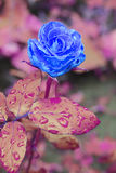 Rose in the garden on a branch in the rain Royalty Free Stock Photos