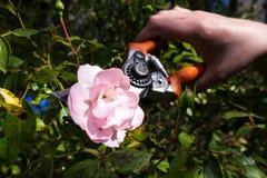 Rose and garden clippers Stock Photos