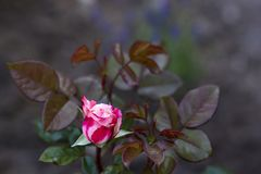 Rose in the garden stock photography
