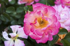 Rose Garden cor-de-rosa fotos de stock royalty free