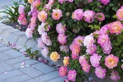 Rose Garden cor-de-rosa imagem de stock royalty free