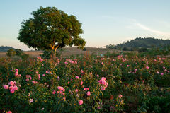 Rose garden in the evening. View of a pink rose garden bathing in the evening sun, with a tree and the mountains in the background. Travel and tourism concept stock photography