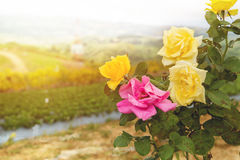 Rose Garden, fiori Rose Garden Fotografia Stock