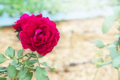 Rose Garden, flores Rose Garden Imagem de Stock Royalty Free