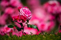The rose garden found in Spain. Beautiful place to relax on your vacation during summer time Royalty Free Stock Images