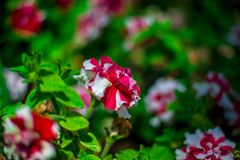 The rose garden found in Spain with some white flower. Vibrant color Stock Photos