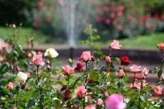 Rose garden. And fountain in background Stock Photography