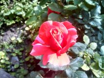 Rose garden. An halfly opened beautiful Rose stock images