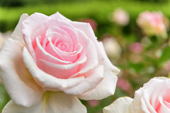 Rose garden in Italy Marche Royalty Free Stock Photo