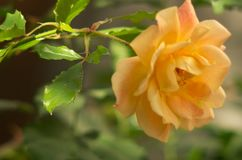 Rose In Garden jaune photos stock