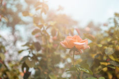 Rose Garden molle Image libre de droits