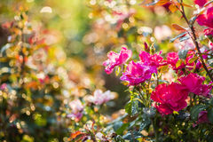 Rose garden in the morning. Beautiful rose garden in the early morning light with natural bokeh Stock Images