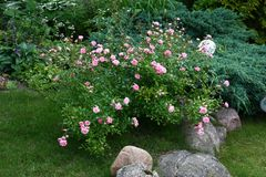 Rose in a garden. In a garden near to stones and other plants the rose bush small pink flowers blossoms Stock Image