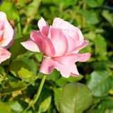 Rose in the garden. Nice flowers in the garden in midsummer, in a sunny day. Green landscape. Green leave in the garden, in springtime. Green landscape and water royalty free stock images