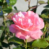 Rose in the garden. Nice flowers in the garden in midsummer, in a sunny day. Green landscape. Green leave in the garden, in springtime. Green landscape and water stock images