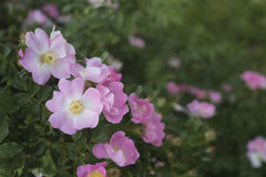 Rose garden over green. Stock Photos
