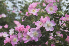 Rose garden over green. Royalty Free Stock Image