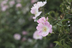 Rose garden over green. Royalty Free Stock Images