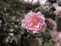 Rose Garden Royalty Free Stock Photography